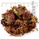 Red Clover, Trifolium pratense, flower