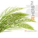 COMMON HORSETAIL , FIELD HORSETAIL  Herba Equiseti arvense L., stem  100g