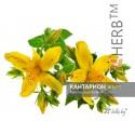 ST JOHN'S WORT FLOWERS Hypericum perforatum L., flower