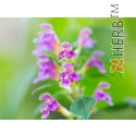 COMMON HEMP-NETTLE  Galeopsis tetrahit L., stem  50g