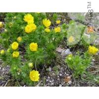 PHEASANT'S EYE  Adonis vernalis, Ranunculaceae, stem 50g