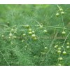 зайча сянка, аспарагус, asparagus officinalis l