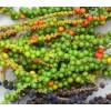 green pepper spice, green pepper benefits, green pepper recipes