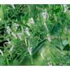 andrographis, stalk, immunity, natural antibiotic,  andrographis, Andrographis paniculata, Andrographis for immunity