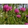 red clover, trifolium pratense, color, red clover herb red clover