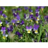 viola tricolor,stem,herb,bronchitis,gout,rheumatism