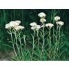 white yarrow, achillea millefolium, yarrow herb