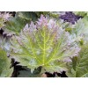 alpine dock,root,rhubarb,rheum palmatum,root,constipation