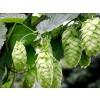 hops,cones,humulus lupulus,hops,strobuli lupuli