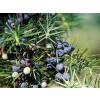 juniper,blue juniper,Juniperus communis,juniper