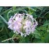 soapwort, bouncing bet, stem, saponaria soapwort