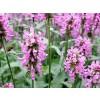 woundwort plant, betonica officinalis, nervous exhaustion, nervous breakdown