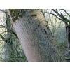 european ash tree,bark,ash,fraxinus excelsior,bark,arthritis