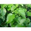 mulberry, leaf, morus nigra, blood sugar levels