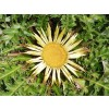 carline thistle,root,carlina acanthifolia,root,treat