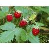 strawberry wild, leaf, wild strawberry plant,