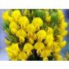 honey bush, cyclopia intermedia, honey bush price