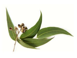 eucalyptus oil, eucalyptus oil uses,eucalyptus oil for hair