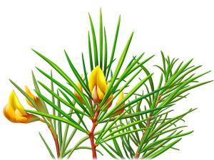 lavender oil, lavender oil benefits,lavender oil uses,lavender oil for hair