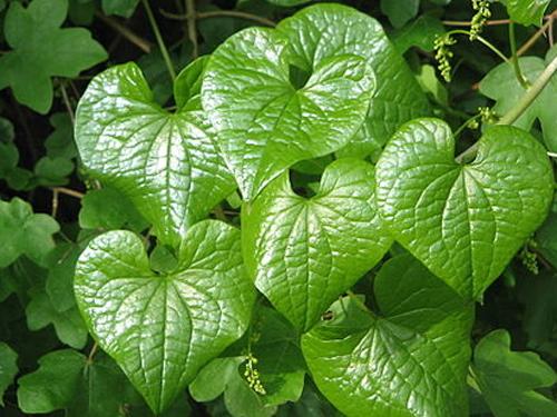 Marigold Turta Tagetes Flower 50g